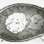 candida electron micrograph
